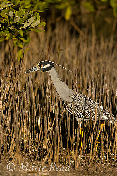 Yellow-crowned Night Heron (Nyctanassa violacea) foraging among mangrove pneumatophores, Ding Darling NWR, FL