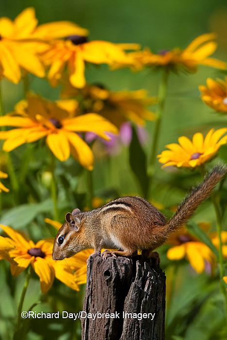 02051-00407 Eastern Chipmunk (Tamias striatus) on fence post near flower garden, Marion Co., IL