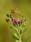 Halloween Penant Dragonfly on Ironweed wildflower