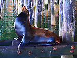 CA sea lion at Santa Cruz Muni Wharf