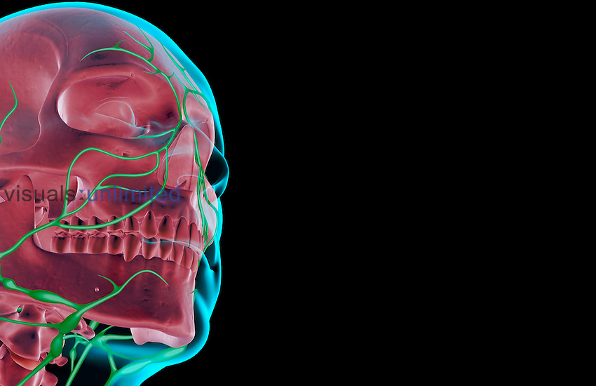 An anterolateral view (right side) of the lymph supply of the head and face. The surface anatomy of the body is semi-transparent and tinted blue. Royalty Free
