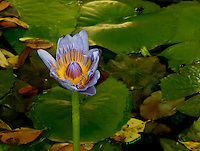 Blue Water Lily, Vibrant Flower, Lily Pads, Fairchild Tropical Botanic Gardens, Miami Tropics<br /> <br /> CLICK ON ADD TO CART ABOVE TO SEE AVAILABLE STYLES, SIZES AND PRICES