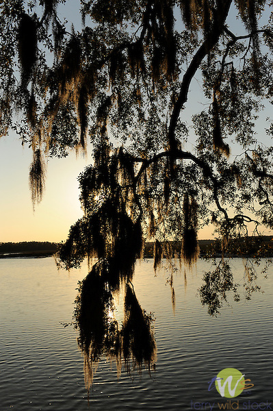 Spring Island, SC. Walker Landing and live oak on Chechessee Creek.