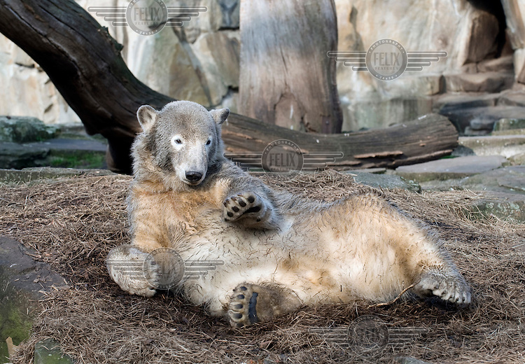 Knut, a polar bear cub who was rejected by his mother at birth and subsequently raised by zookeepers at the Zoologischer Garten zoo in Berlin.