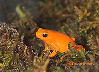 1102-07vv  Mantella aurantiaca - Golden Mantilla - © David Kuhn/Dwight Kuhn Photography