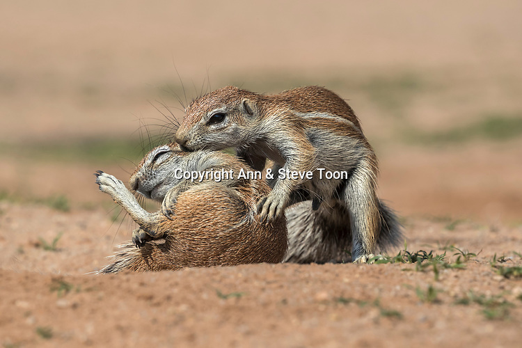 Ground squirrels (Xerus inauris) grooming, Kgalagadi Transfrontier Park, Northern Cape, South Africa, January 2017