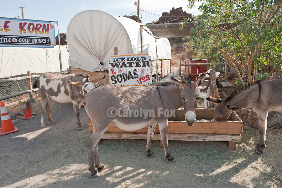 Hey, can you spare a buck for a soda? Jackasses at the trough in downtown Oatman, Ariz.