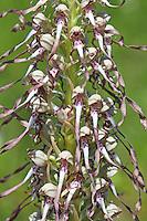 Bocks-Riemenzunge, Bocksriemenzunge, Bocksorchis, Himantoglossum hircinum, lizard orchid, L'orchis bouc