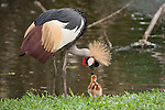 Bali, Indonesia; Grey Crowned Crane (Balearica regulorum) parents and chicks alongside a stream