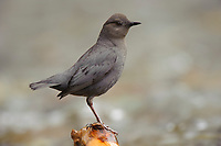 Adult American Dipper (Cinclus mexicanus). King County, Washington. April.