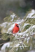 01530-23010 Northern Cardinal (Cardinalis cardinalis) male in pine tree in winter snow Marion Co. IL
