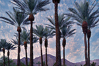 Palm trees with sunrise and Santa Rosa Mountains, California