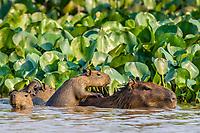 Adult capybara, Hydrochoerus hydrochaeris, with young, Porto Jofre, Mato Grosso, Pantanal, Brazil.