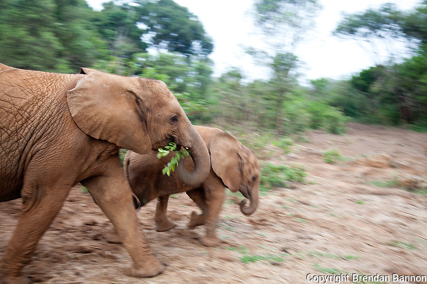 Orphaned baby elephants running out of the brush at the David Sheldrick Wildlife Trust in Nairobi National Park. The elephants range in age from  six months to three years. When one lies  down the others pile on playfully.