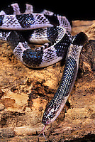 403854008 a captive many-banded krait bungarus multicintus multicinctus lays coiled on a log species is  native to southeast asia