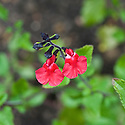 Salvia microphylla 'Hot Lips, mid June.