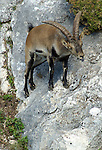 Adult male Spanish Ibex ( capra pyrenaica ) with tongue extended while chasing females during autumn rut. Andalucia, Spain.