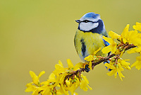 Blue Tit (Parus caeruleus), adult perched on a blooming Forsythia (Forsythia intermedia), Zug, Switzerland, Europe