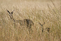 Black-tailed deer, Odocoileus hemionus, doe and fawn in tall grass. Point Reyes National Seashore, California