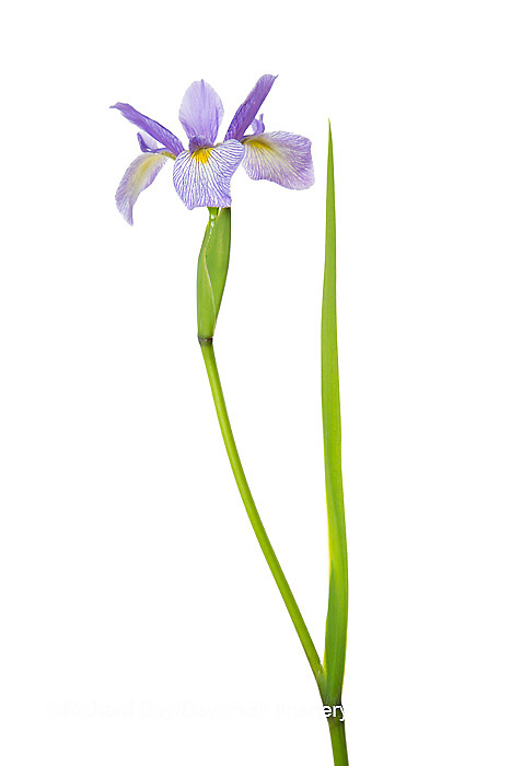 30099-00114 Blue Flag Iris (Iris versicolor) with white background, Marion Co., IL