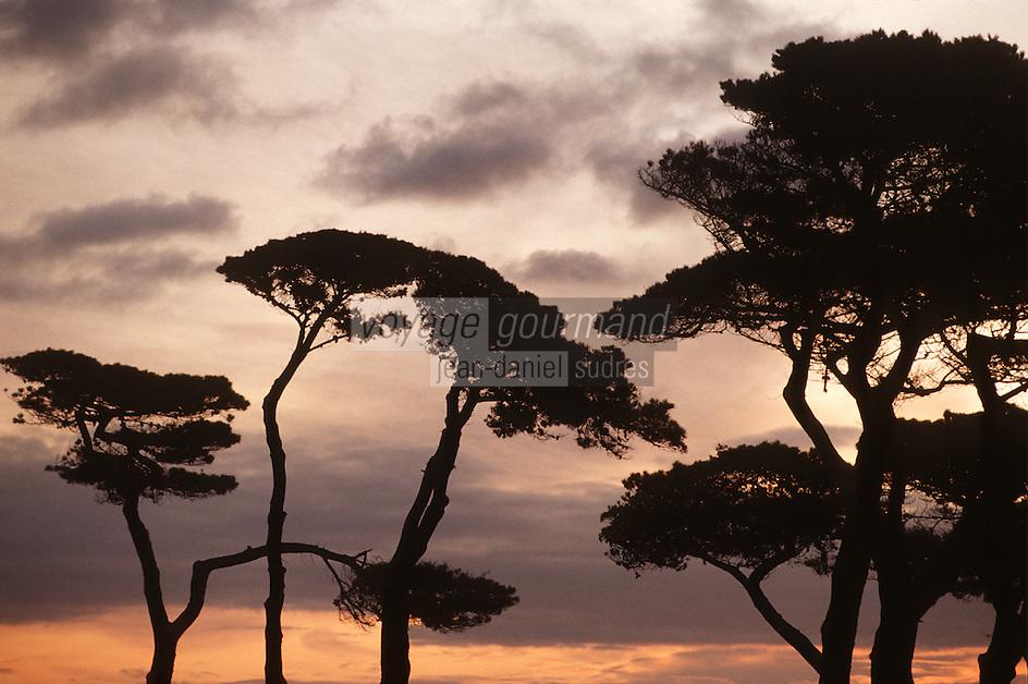 Europe/France/Bretagne/29/Finistère/Saint Pol de Léon: Soleil levant sur les pins au rocher Sainte Anne