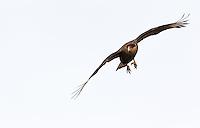A Crested caracara flies in toward a guanaco carcass.