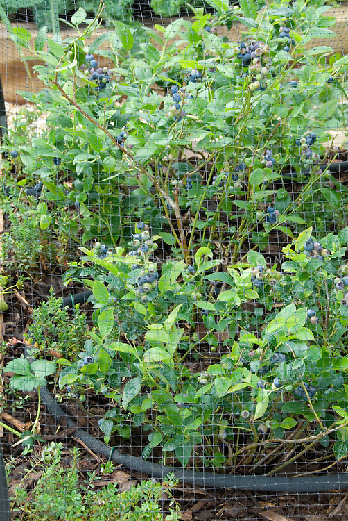 Blueberries under protective fruit netting showing entire plant, net, berry bush, and many fruits, irrigation soaker hose on ground
