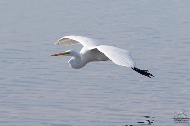 Great Egret flying in JR Ding Darling National Wildlife Refuge