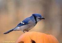 1J02-016z  Blue Jay - on Jack-o-lantern - Cyanocitta cristata