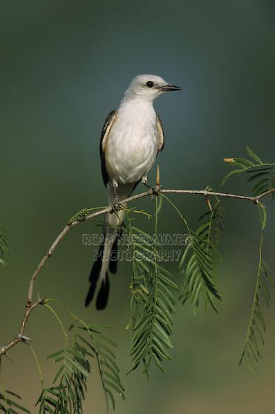 Scissor-tailed Flycatcher, Tyrannus forficatus,female, Starr County, Rio Grande Valley, Texas, USA