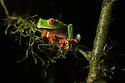 Red-eyed Leaf Frog female {Agalychnis callidryas}Central Caribbean foothills, Costa Rica. May.