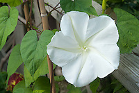 Huge white flower of annual vine Moonflower