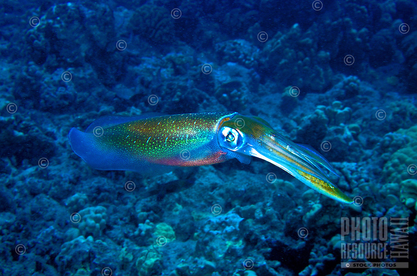 The Oval Squid is a unique yet seldom seen member of Hawaii's coral reef community.