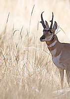 A pronghorn buck in autumn.