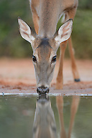 White-tailed Deer (Odocoileus virginianus), adult drinking, South Texas, USA