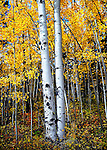 two aspen trees with fall colors near Kenosha Pass, CO