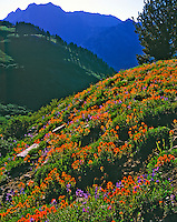 Indian paintbrush in Albion Basin, Utah  Twin Peaks beyond  Wasatch Mountains  Wasatch/Cache National Forest