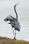 Great Blue Heron.Ardea herodias.at Balboa Lake Los Angeles, Ca. Novemver 27, 2008. Fitzroy Barrett