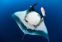 Giant Pacific manta ray, Manta birostris, with remora, Echeneida sp., in the Revillagigedo Islands, Pacific Ocean