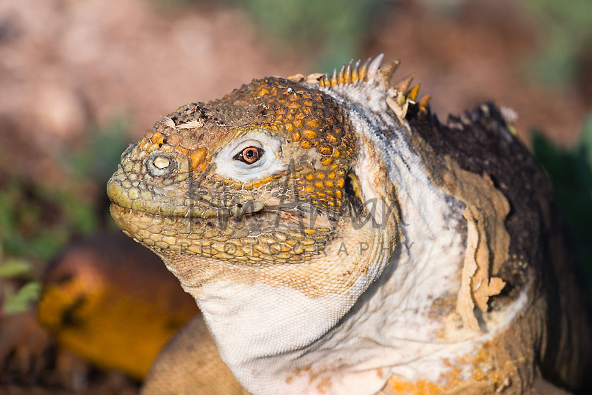 Land Iguana Galapagos Islands