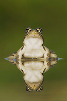 Rio Grande Leopard Frog, Rana berlandieri, adult in water with reflection, Uvalde County, Hill Country, Texas, USA