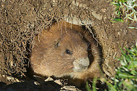 Olympic Marmot (Marmota olympus) looking out of den in alpine area of Olympic Mountains, Olympic National Park, Washington.  Summer.