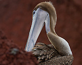 Close up of a brown pelican preening. Pelican has its neck twisted to reach its feathers showing off its head, the well-defined, feathered outline around its long, grey beak.All against the reddish background of the Rabida sand.