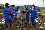 ISHIONAMAKI, JAPAN - DECEMBER 5: Student Wakayama Airi, age 17, (second right) collects flowers in the garden of Kita High School supported by Save The Children Japan on December 5, 2011, in Ishionamaki, Japan. Save The Children Japan gives out scholarships to families and assists children who's lives were disrupted and devastated by tsunami. Many children lost parents, family members and where traumatized during the tsunami. Northeastern Japan's coastline was struck by an earthquake measuring 9.0 on the Richter scale and a Tsunami on March 11, 2011 which destroyed villages and livelihoods for hundreds of thousands of people. Almost 16,000 dead, thousands missing, more than 700,000 properties destroyed and an estimated 387,000 survivors lost their homes. Its estimated that it will take more than five years to rebuild. The cost is estimated to 309 billion U.S. dollars, the world's most expensive natural disaster. Many children suffered especially with school destroyed, education interrupted and the loss of family members took a heavy toll. Save The Children Japan runs many programs to assist families and children in the tsunami stricken areas. one of the few ngo's working here they assist with food, hygiene products, shelter, counseling, and many after school and pre school programs and scholarships for families who lost their livelihood after the tsunami. (Photo by Per-Anders Pettersson)