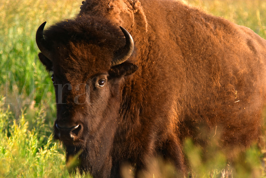 Female bison in prairie, Grand Teton National Park, Teton County, Wyoming, USA