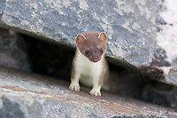 Short-tailed weasel peers out from boulder rubble in the Alaska range mountains. Also called Ermines, grow to be about 14-17 inches long and are known to be master predators, consuming 40%% of their body weight daily.