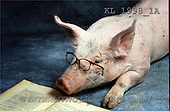 Interlitho, Alberto, ANIMALS, pigs, photos, pig, book, glasses(KL1998/1A,#A#) Schweine, cerdos