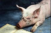 Interlitho, Alberto, ANIMALS, pigs, photos, pig, book, glasses(KL1998/1A,#A#) Schweine, cerdos
