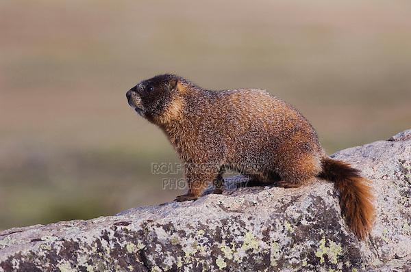 Yellow-bellied Marmot,Marmota flaviventris,adult on rock boulder,Rocky Mountain National Park, Colorado, USA