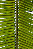 Aldeia Baú, Para State, Brazil. Detail of Amazon Palm leaf.